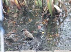 Blackbird Bath